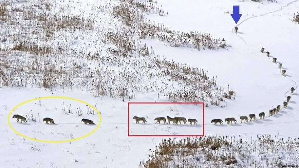 la manada y el lobo